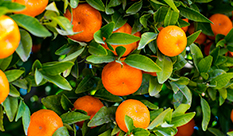 【Hesperidin】Main Citrus Flavonoids with Antidiabetic Effects
